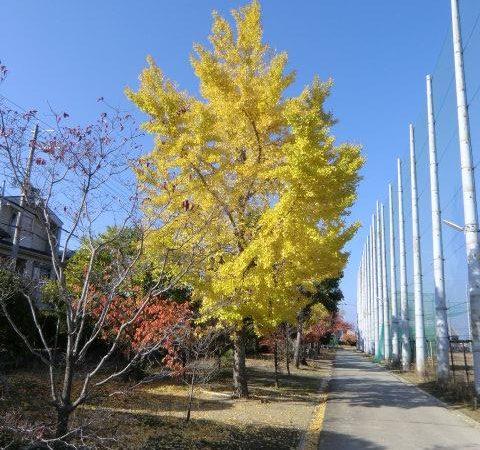 東門の近くにあるイチョウの木が青空に映えます