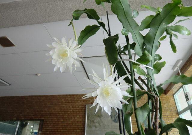 月下美人がまた美しい花を咲かせてくれました