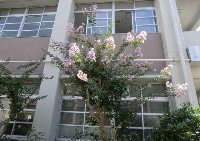さるすべり ピンクの花が中庭に彩りを添えています